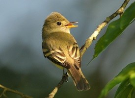 Acadian Flycatcher Photo