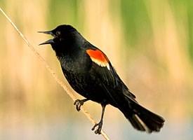 Red-winged Blackbird Photo