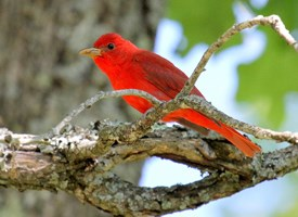 Summer Tanager Photo