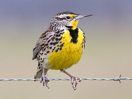 Image result for western meadowlark