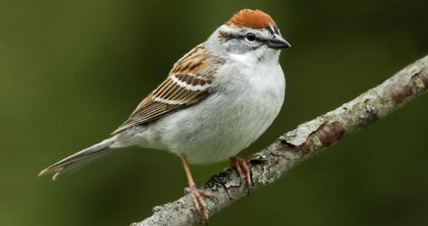 Image result for chipping sparrow ontario