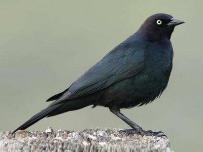 Brewer's Blackbird Identification, All About Birds, Cornell Lab Of  Ornithology