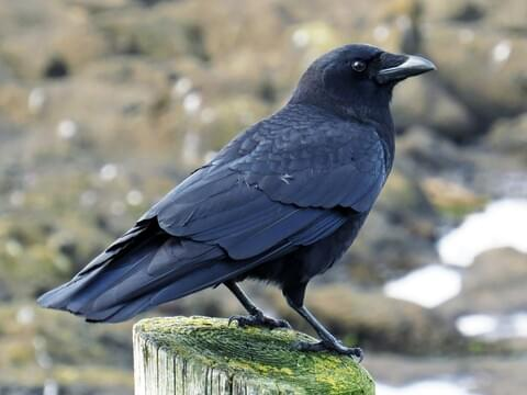 American Crow Identification All About Birds Cornell Lab Of Ornithology