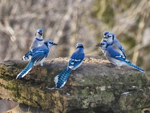 Blue Jay Identification All About Birds Cornell Lab Of Ornithology