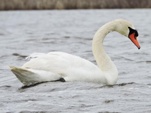 Mute Swan Identification All About Birds Cornell Lab Of Ornithology