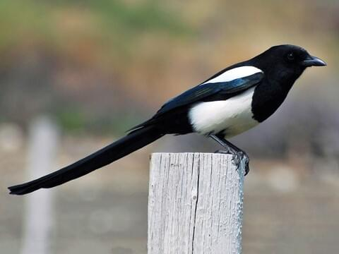 Black Billed Magpie Identification All About Birds Cornell Lab Of Ornithology