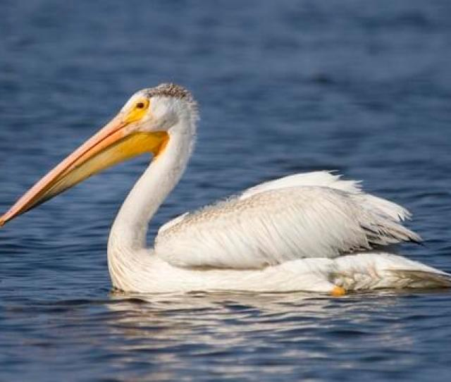 American White Pelican Identification All About Birds Cornell