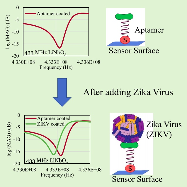 Diagram of how the sensor detecting the Zika virus functions