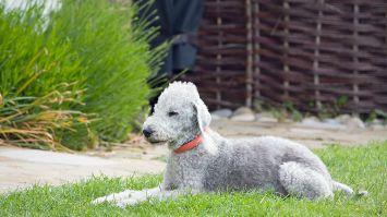 Bedlington Terrier