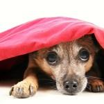 dog-hiding