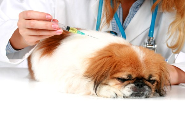 Dog healthcare. Dog's vaccination concept.