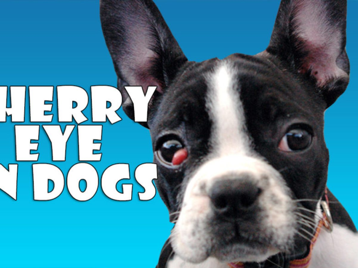 Cherry Eye In Dogs Treatment Of Cherry Eye In Dogs All About Dogs