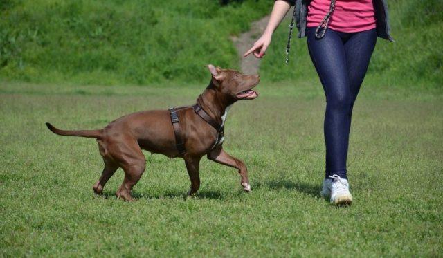Pitbull-Training