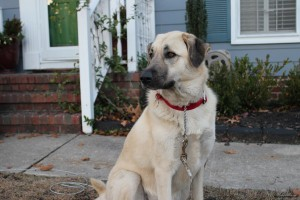 Anatolian-Shepherd-Dog popular farm dogs