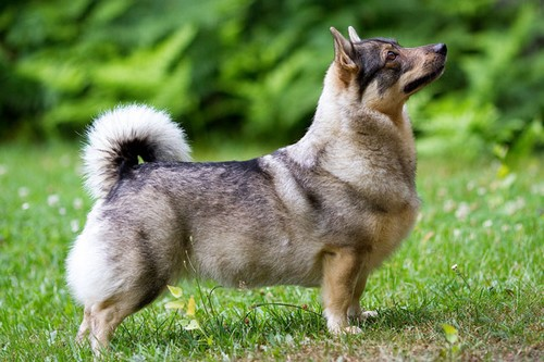 Swedish-Vallhund