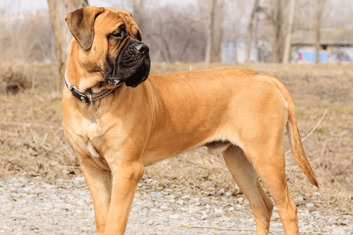 bullmastiff-dog-top-hd-wide-wallpapers-free-dogs-pictures