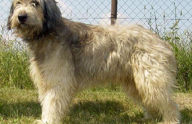 Catalan Sheepdog