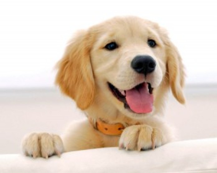 Golden Retriever ideal dog for families