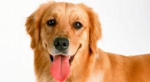 Golden Retriever ideal dog for families