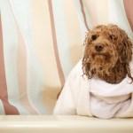 pampered-dog-after-bath