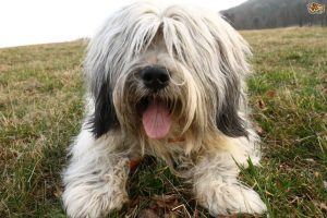 Catalan Sheepdog 2