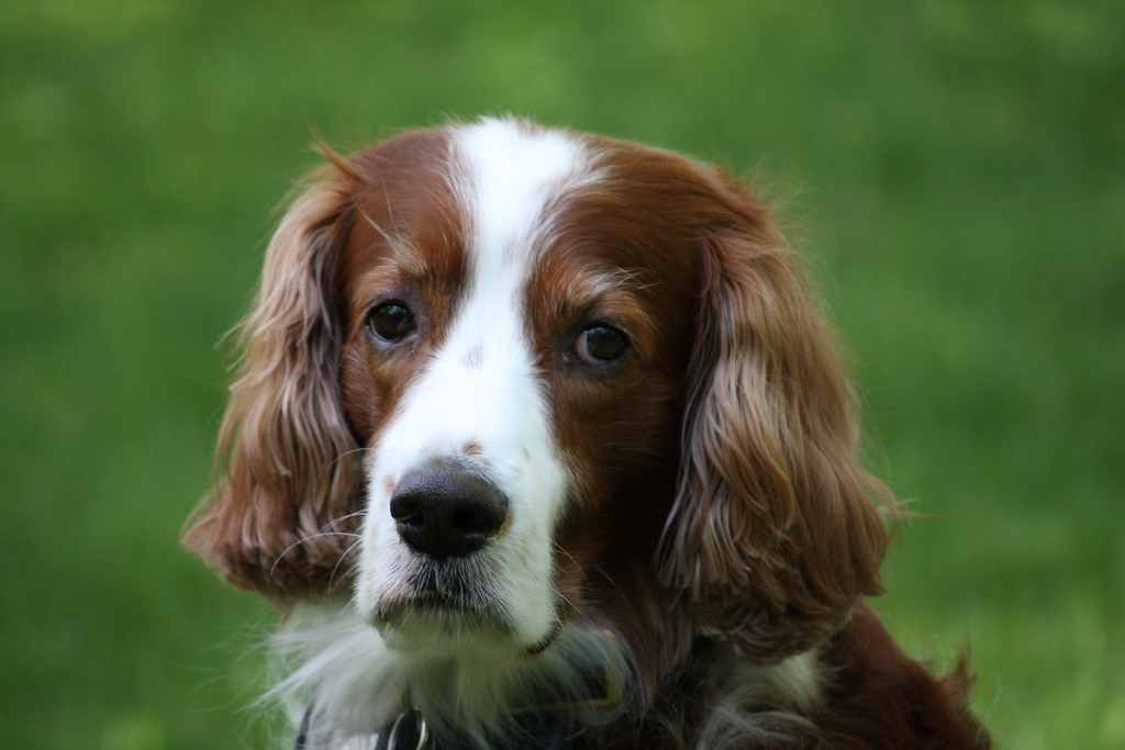 Irish Red and White Setter Dog Breed Information - All ...