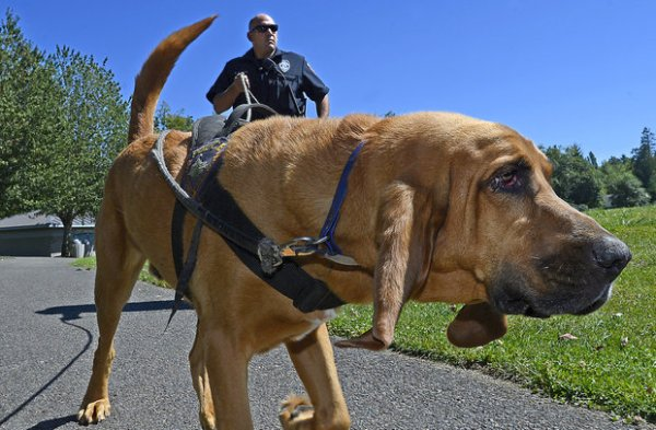 bloodhound police dog