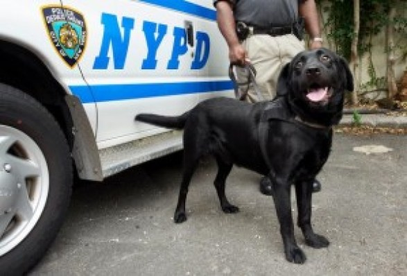 Labrador Retriever police dog