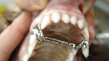 Can dogs get braces
