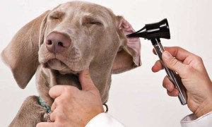 Can dogs get ear infections?