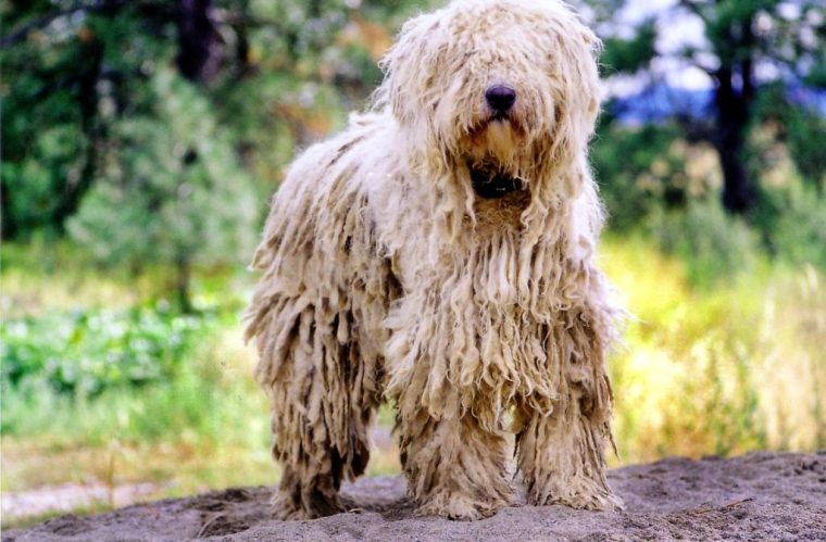 Komondor Dog