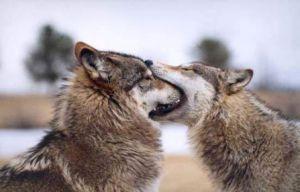 Wolf-season-estrus-pl-094