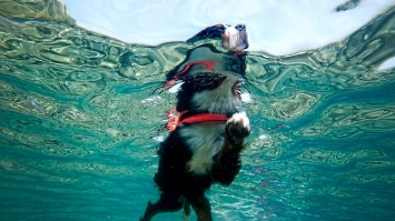 Swimming Dog Breeds