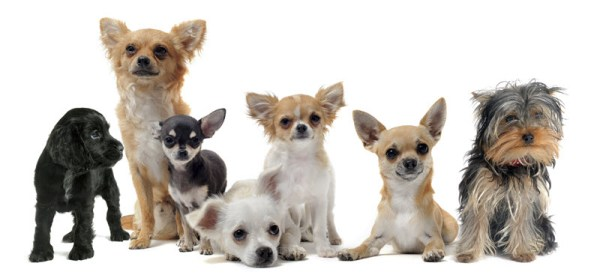 small-dogs