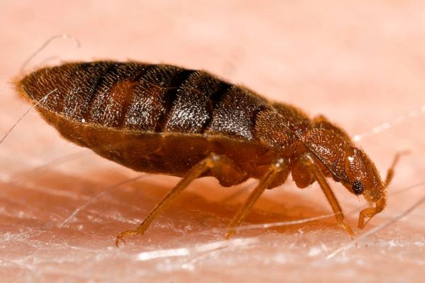 Bedbug sniffing dogs