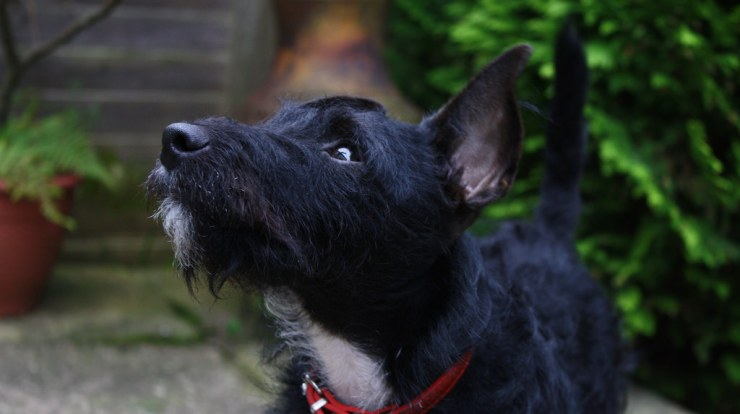 Patterdale Terrier