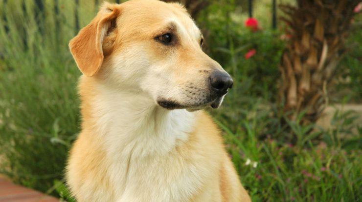Chinook Dog