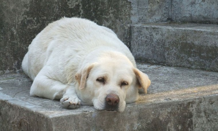 Sleep deprivation in dogs Underestimated Risk
