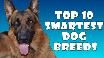 Top 10 Smartest Dog Breeds