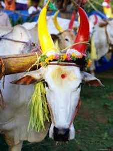 Bull decorated for Pongal