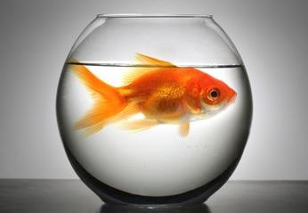 Large Fish in Small Bowl