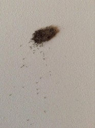 Moth Fly Larvae On Bathroom Wall All About Worms