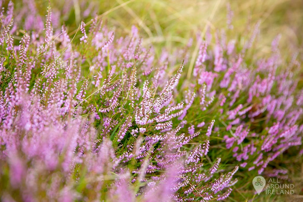 So much beautiful heather on the Lough Ouler hike