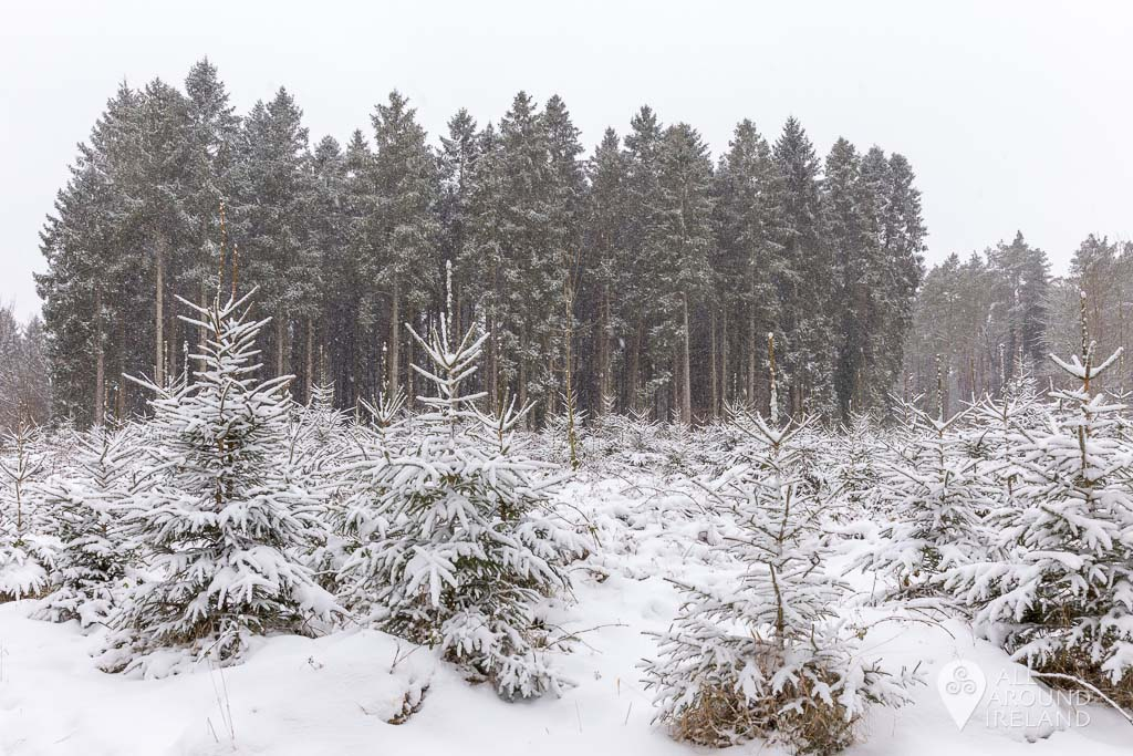 It's beginning to look a lot like Christmas! Snow covered pine trees in Portumna Forest Park.