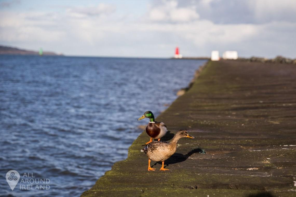 Two ducks enjoying a walk along the wall