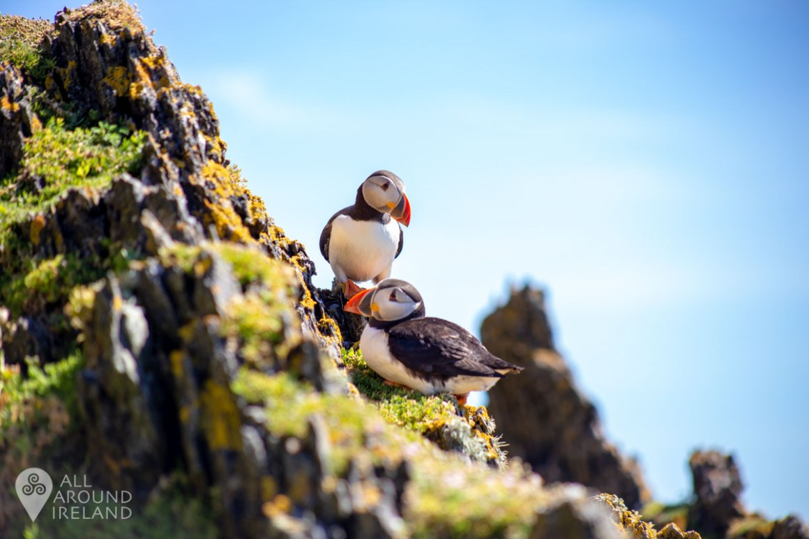 Just two Puffins hanging out!