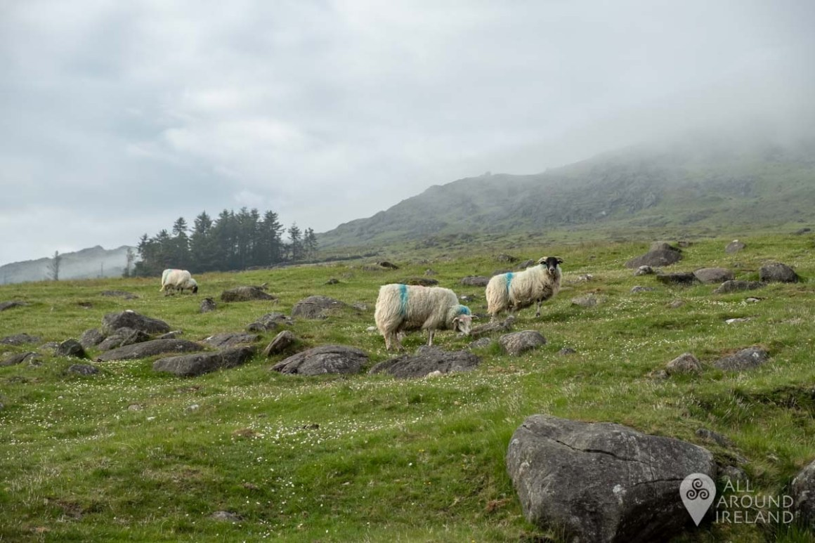 Curious sheep in front of a cloud covered Slieve Foye.