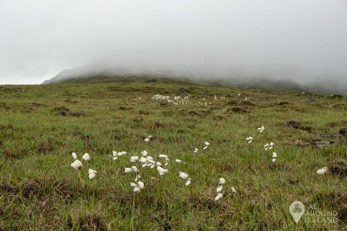Bog cotton and a cloud covered summit of Slieve Foye.