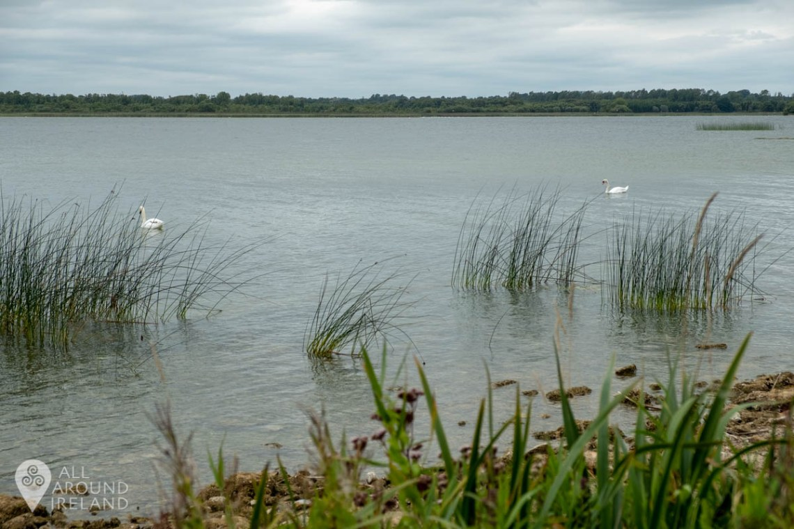 Swans in Lough Ennell. Viewed from Belvedere Estate.