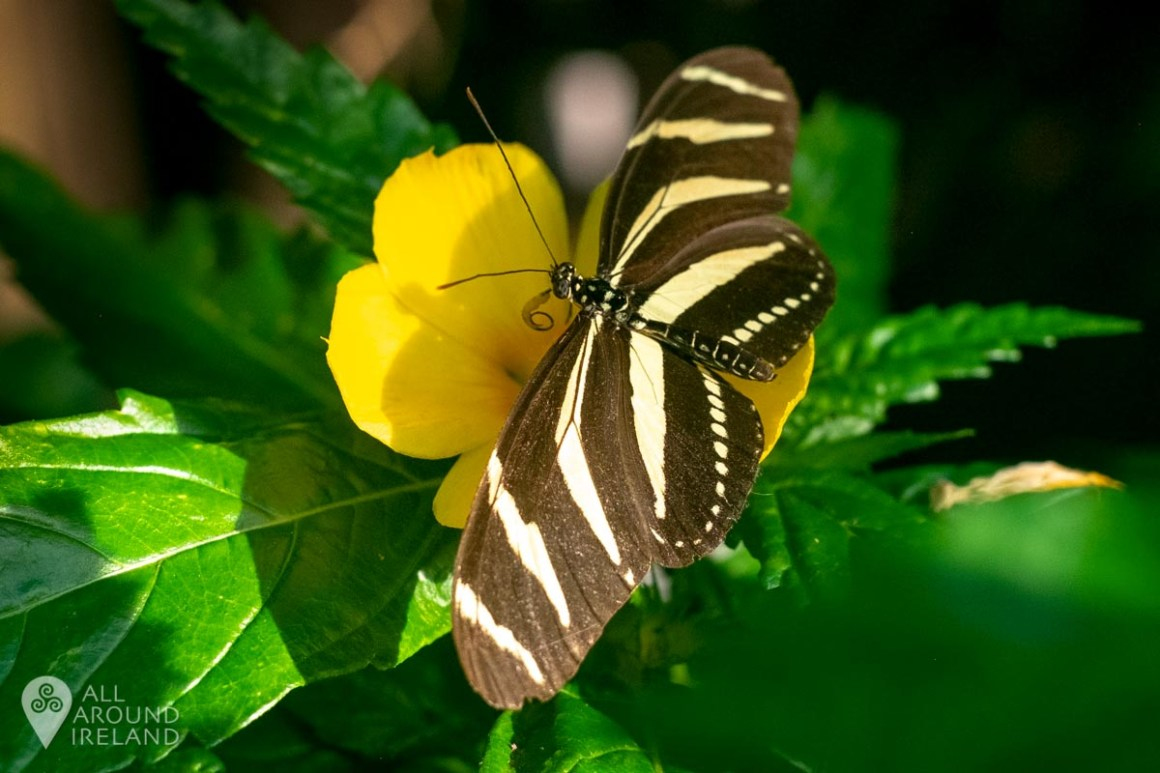 Striped butterfly at Malahide Castle Butterfly House